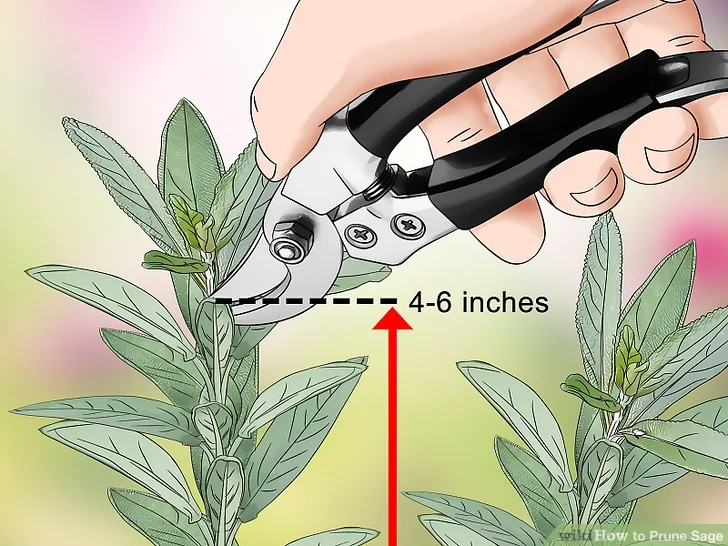 How To Prune Sage In 2020 Sage Plant Perennial Herbs Planting Herbs