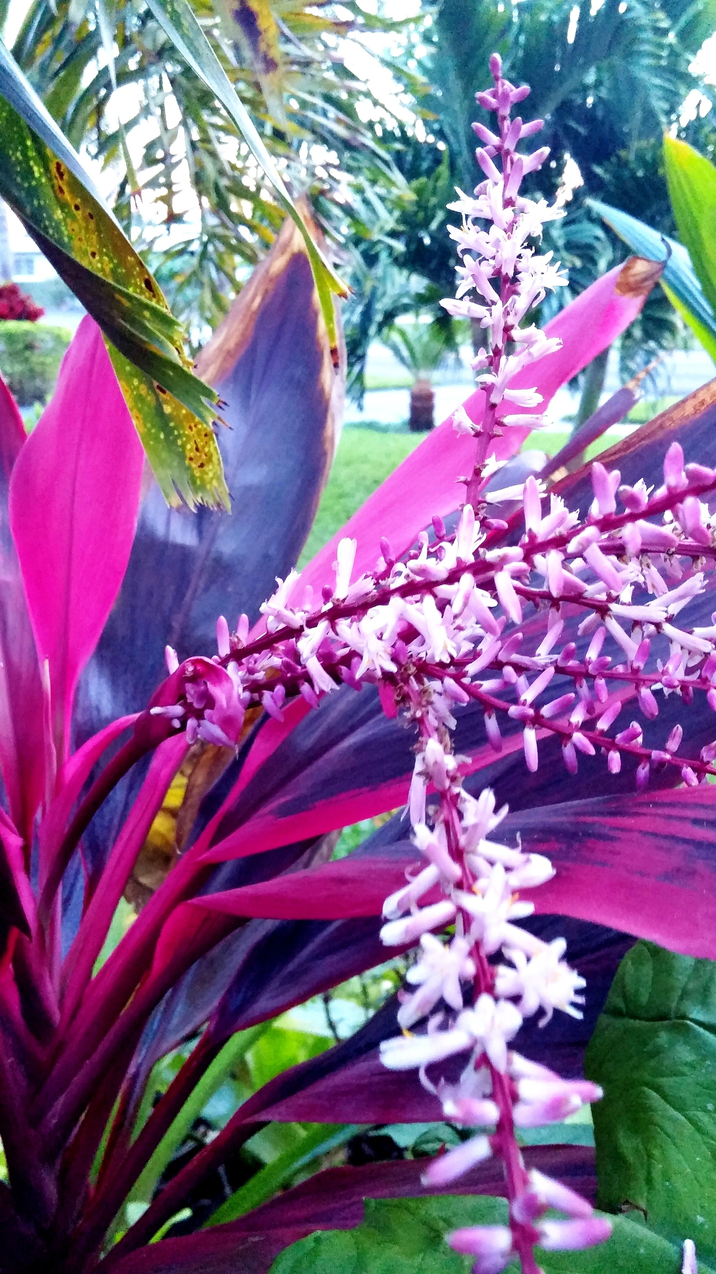 Cordyline Ti Plant In Bloom I Had No Idea Cordylines Bloomed I Feel So Lucky To Have Noticed This Amazing Display In B Big Garden Ti Plant Tropical Garden