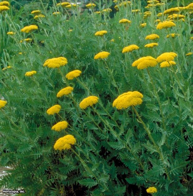 Pin By Ian Davis On Perrenials Yarrow Herbaceous Perennials Achillea