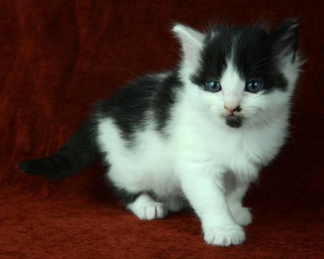 Adopt B W Kitten On Petfinder Black And White Kittens Cute Animals Cat Adoption