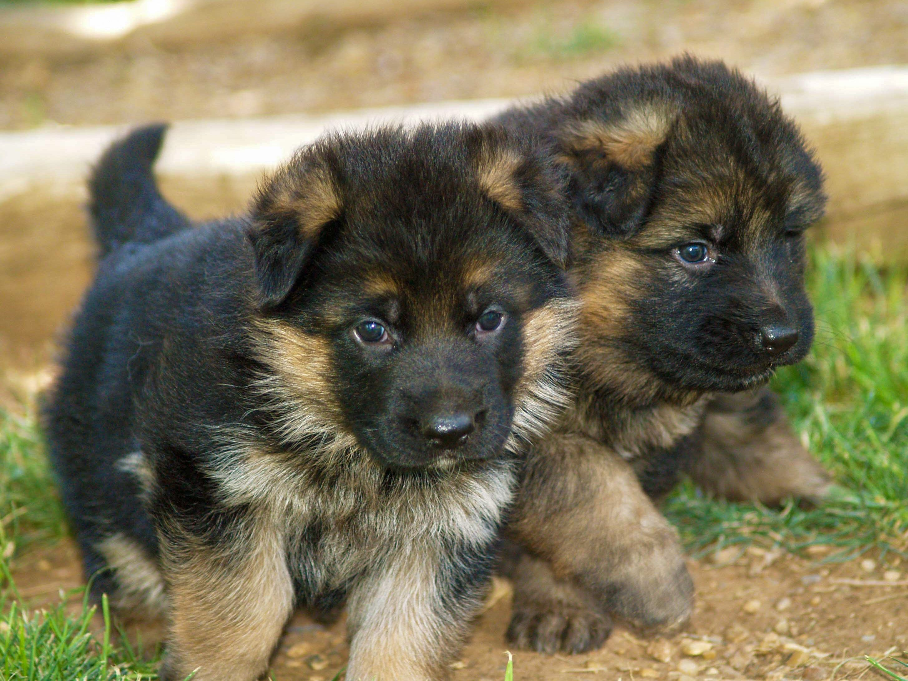Texas German Shepherd Puppies In 2020 German Shepherd Puppies German Shepherd Kennels German Shepherd