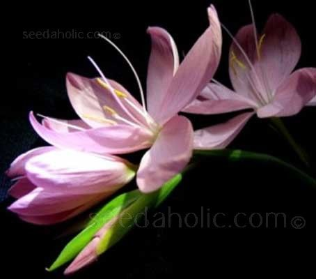 Schizostylis are autumn flowering perennials they are valued in schizostylis are autumn flowering perennials they are valued in gardens for their late flowering mightylinksfo
