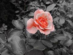 Rosa, Flor, Amor, Rosa Vermelha