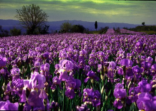 Field Of Irises In Arezzo Italy Flower Landscape Flower Field Nature