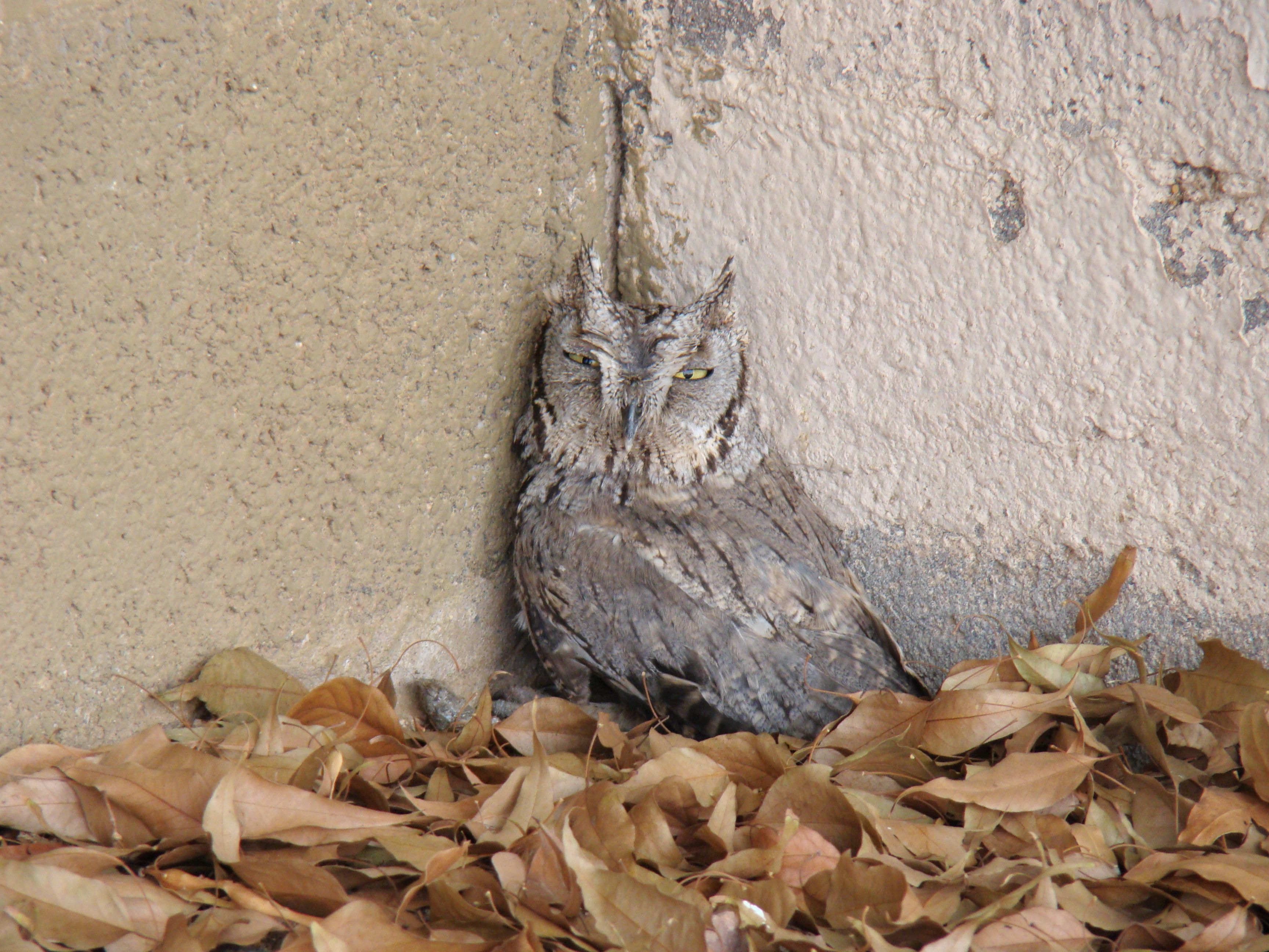 A little screech owl that decided to hang out in my yard.