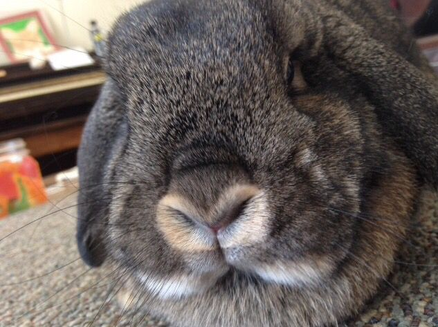 Ok, can we just all take a minute to look at how adorable Nutmeg's bunny nose is?  #minilop #bunny #showrabbit #cutie
