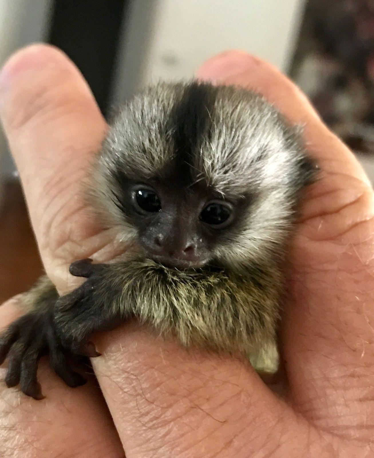 The Monkey Whisperer Baby Monkeys Baby Monkeys Finger Monkey In 2020 Pets For Sale Cute Baby Monkey Cute Little Animals