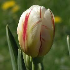 Resultado de imagen para ver distintos colores de tulipanes