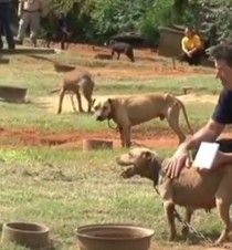 More than 350 pitbulls have been rescued from a massive illegal dogfighting ring in the South.