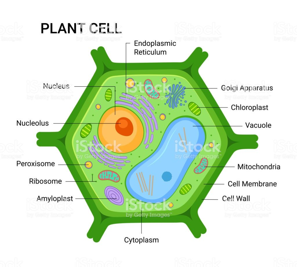 Illustration of the Plant cell anatomy structure. Vector ...