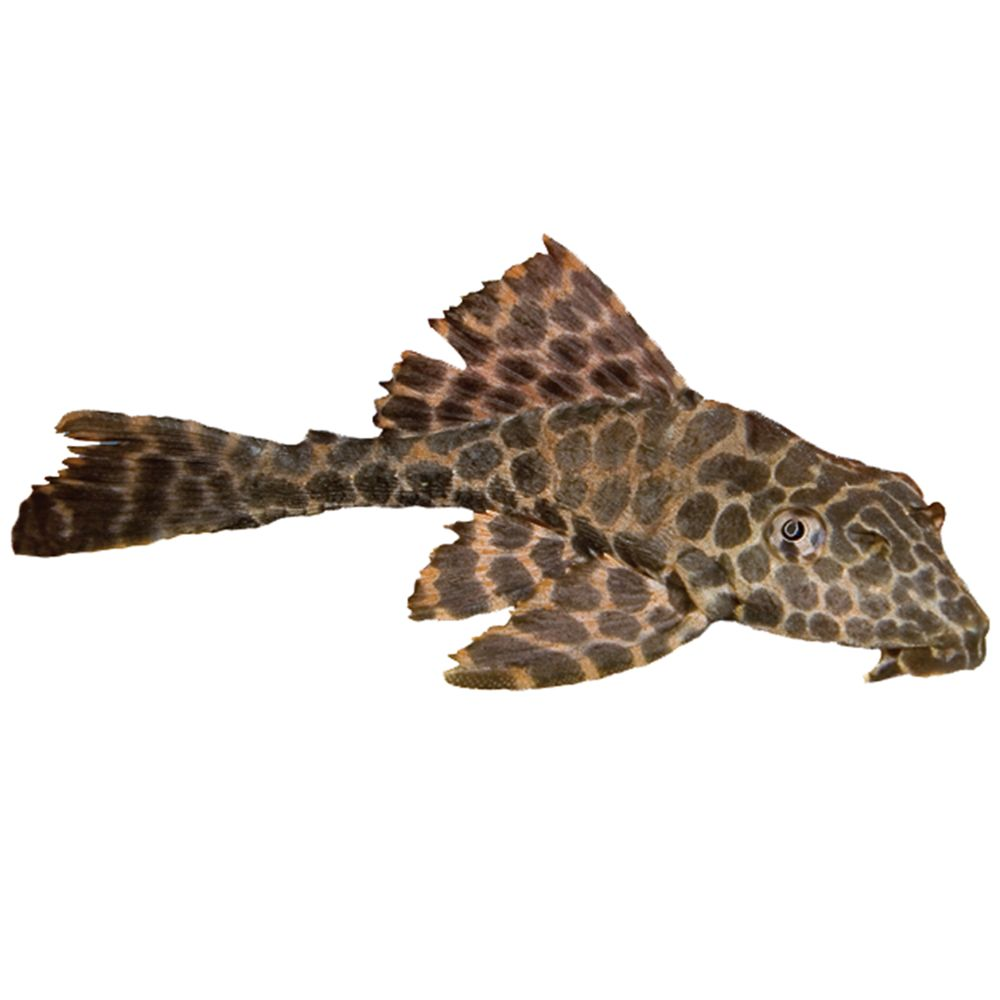 High Fin Spotted Plecostomus In 2020 Plecostomus Pet Fish