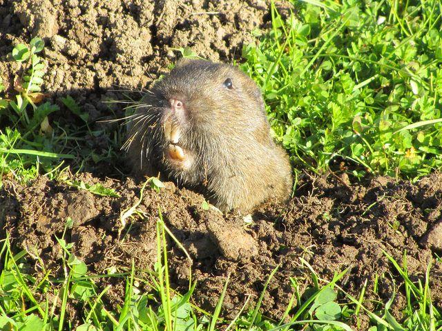 Mole Control Kill Them Critters Dead Organic Gardening Pest Control Critter Gopher Control