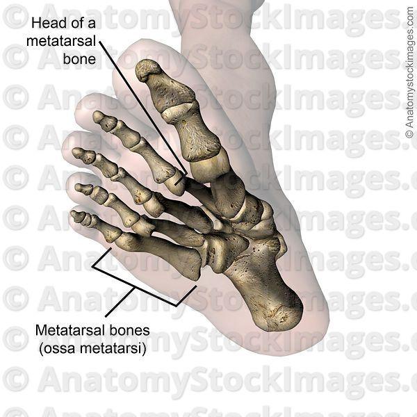 Anatomy Stock Images Foot Metatarsal Bones Head Bone Toes Feet Bottom Skin Names Foot Anatomy Feet Anatomy