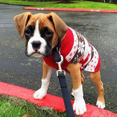 Boxer puppy in a holiday sweater! (With images) Boxer