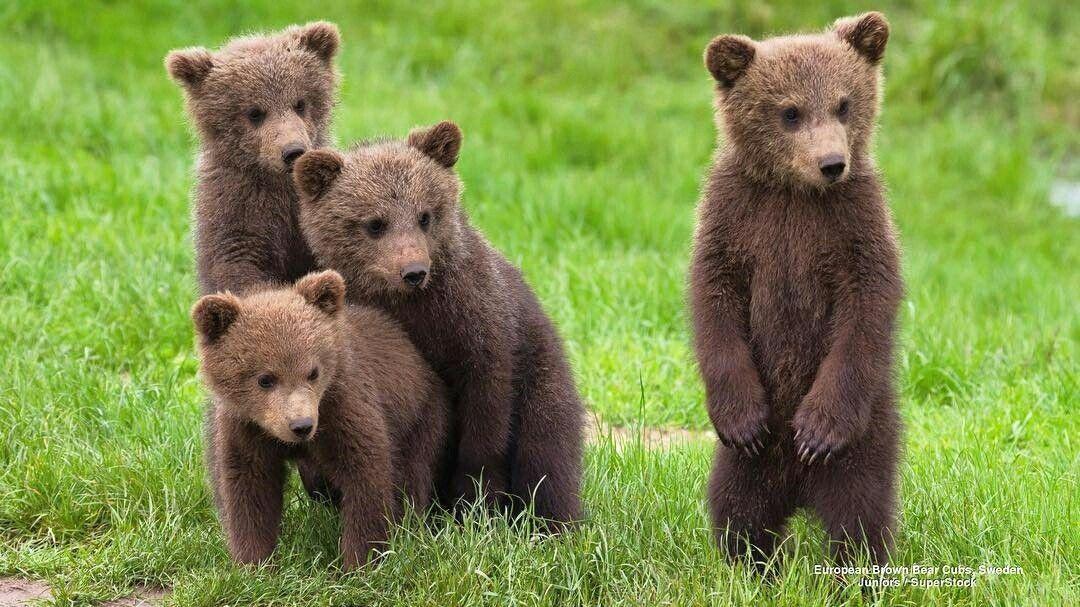 Пять медвежат картинка