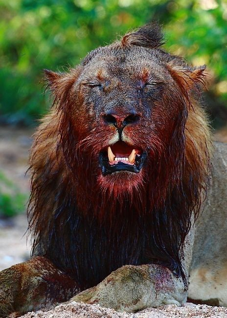 Blood-covered Mabande male lion with a buffalo kill. Photo credit: Chad Cocking
