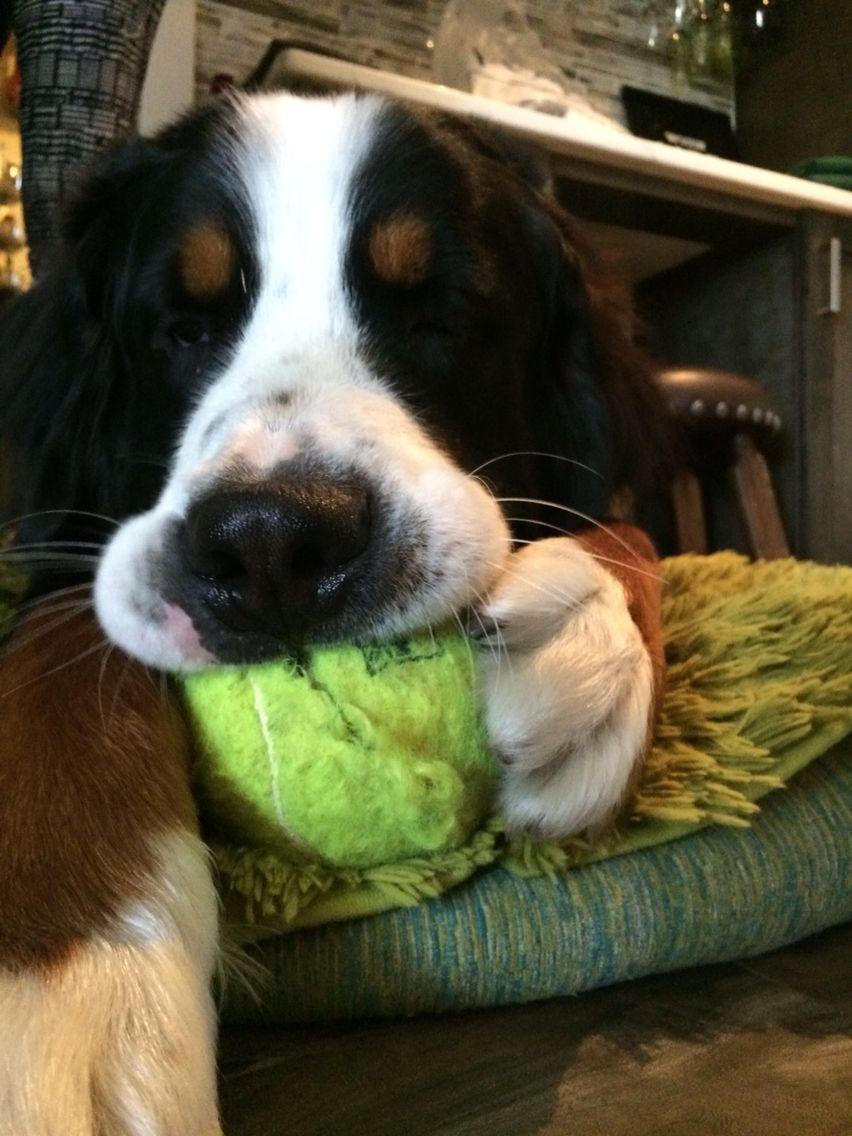 Maverick loves his giant tennis ball