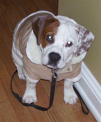 Murphy The English Bulldog Beagle Hybrid Beabull At About 1