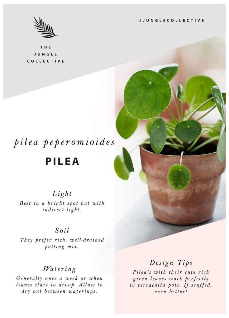 Pilea pilea kakteen zimmerpflanzen pflanzen und for Deko grunpflanzen
