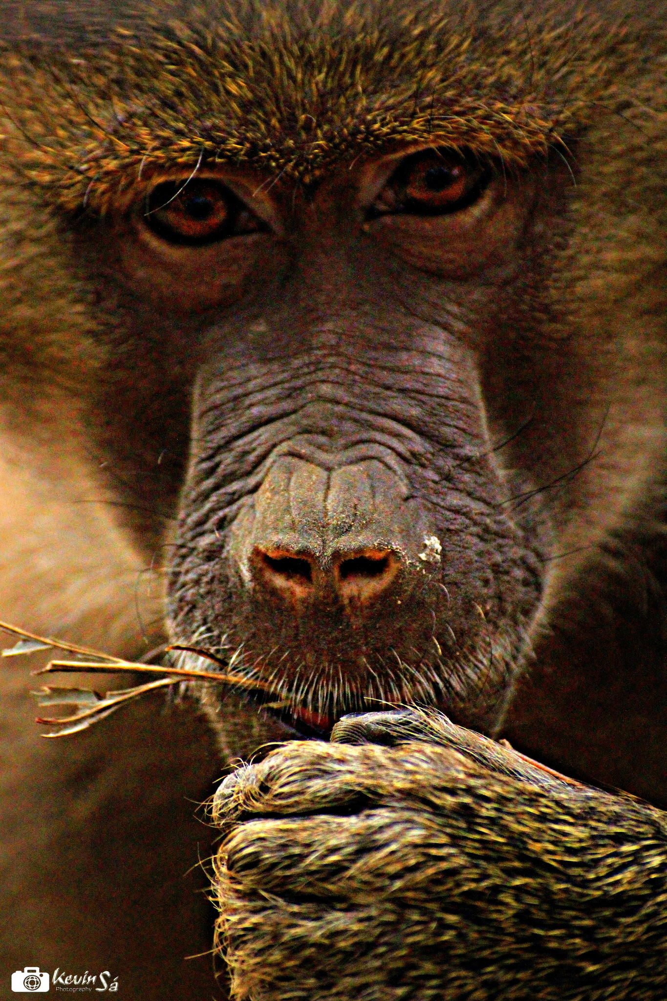 Monkey with a intelligent eye..