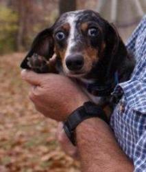 Adopt Mason On Adoptable Dachshund Dog Dachshund Rescue Dachshund