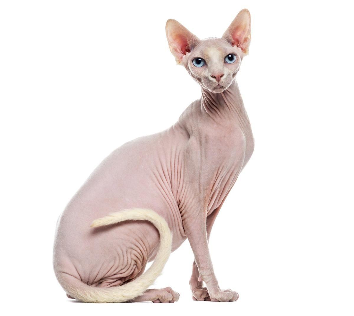 chinese hairless cat