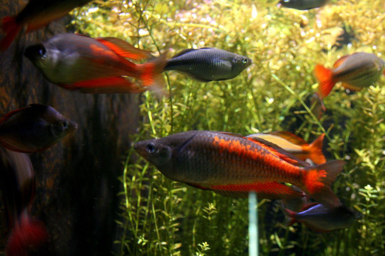 Melanotaenia parkinsoni, Parkinson\'s rainbowfish | Rainbow Fish ...