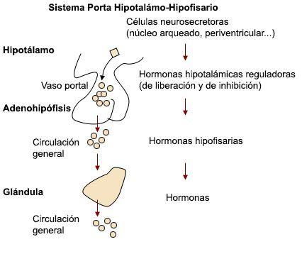 La Hipófisis o Glándula Pituitaria: ¿cómo funciona el Sistema de la ...