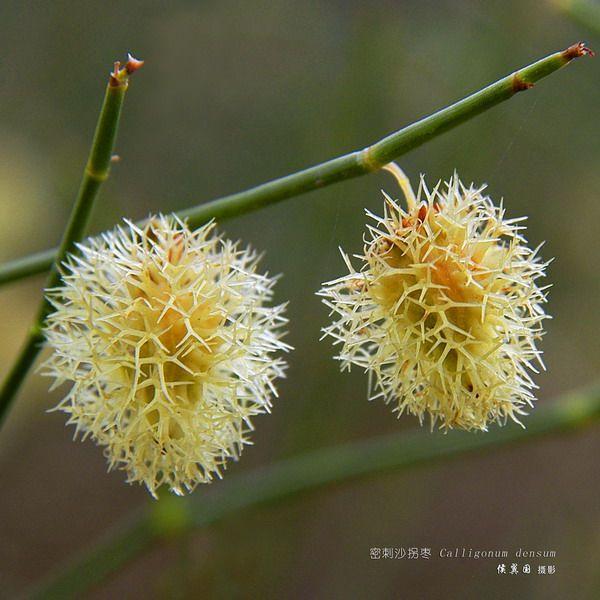 Calligonum Densum,