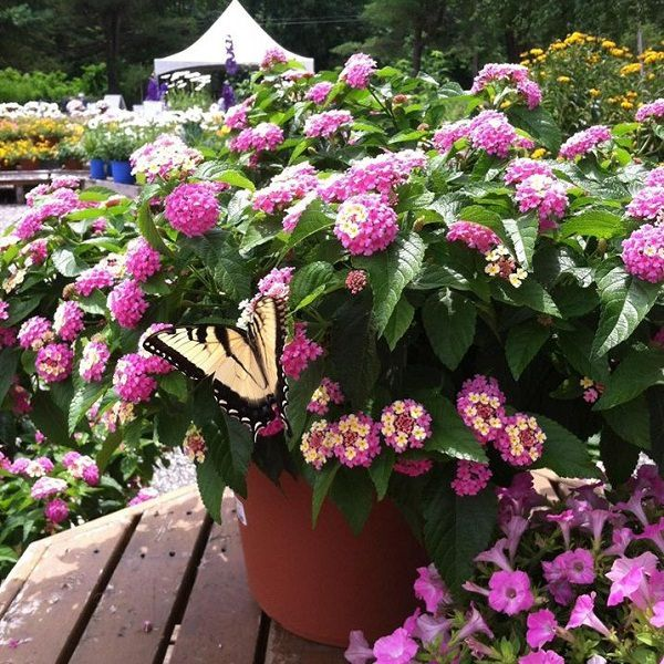 Butterfly Container Garden