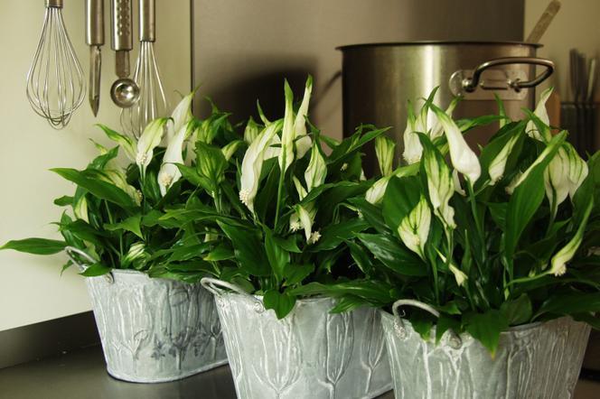 Kwiaty Doniczkowe Skrzydlokwiat Warunki Uprawy I Odmiany Skrzydlokwiatu Murator Pl Plants Indoor Plants Garden