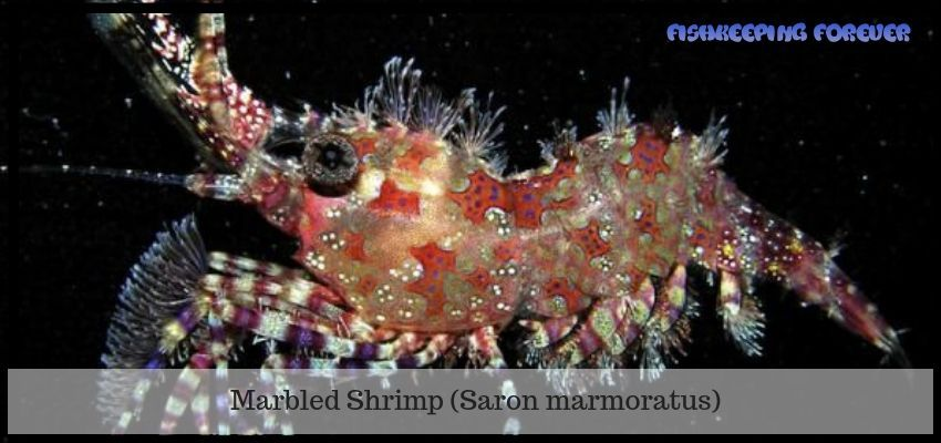 Marble Shrimp Top 13 Saltwater Fish Tank Shrimps Saltwater Fish Marine Fish Invertebrates Corals Marine Fis Saltwater Fish Tanks Marine Fish Tanks Marine Fish