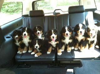 8 Smiling Bernese Mountain Dog Puppies Cute Dog Pictures Bernese Mountain Dog Puppy Cute Dogs
