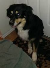 #COFlood #COPets FOUND DOG: Male Aussie mix in Aurora http://denver.craigslist.org/laf/4076431980.html