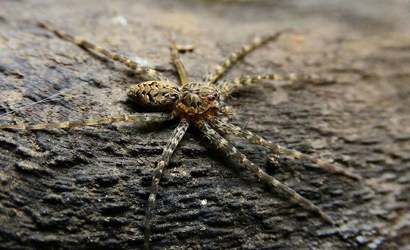 Giant Fishing Spider The Size Of Your Hand Found In Fl Spider Arachnids Giants