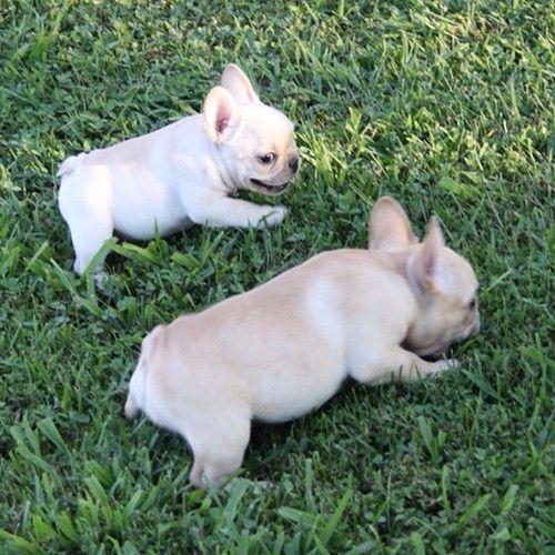 French Bulldog Puppies Via Batpig Me Tumble It French