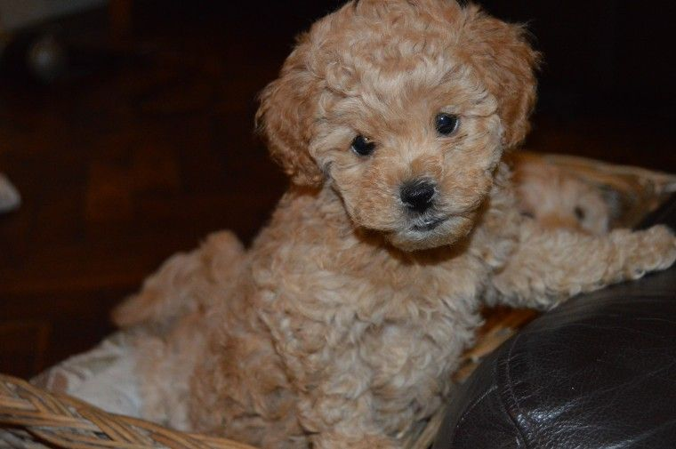 Maltipoo Puppies For Sale Boston Ma Maltipoo Puppy Maltipoo Puppies For Sale Puppies