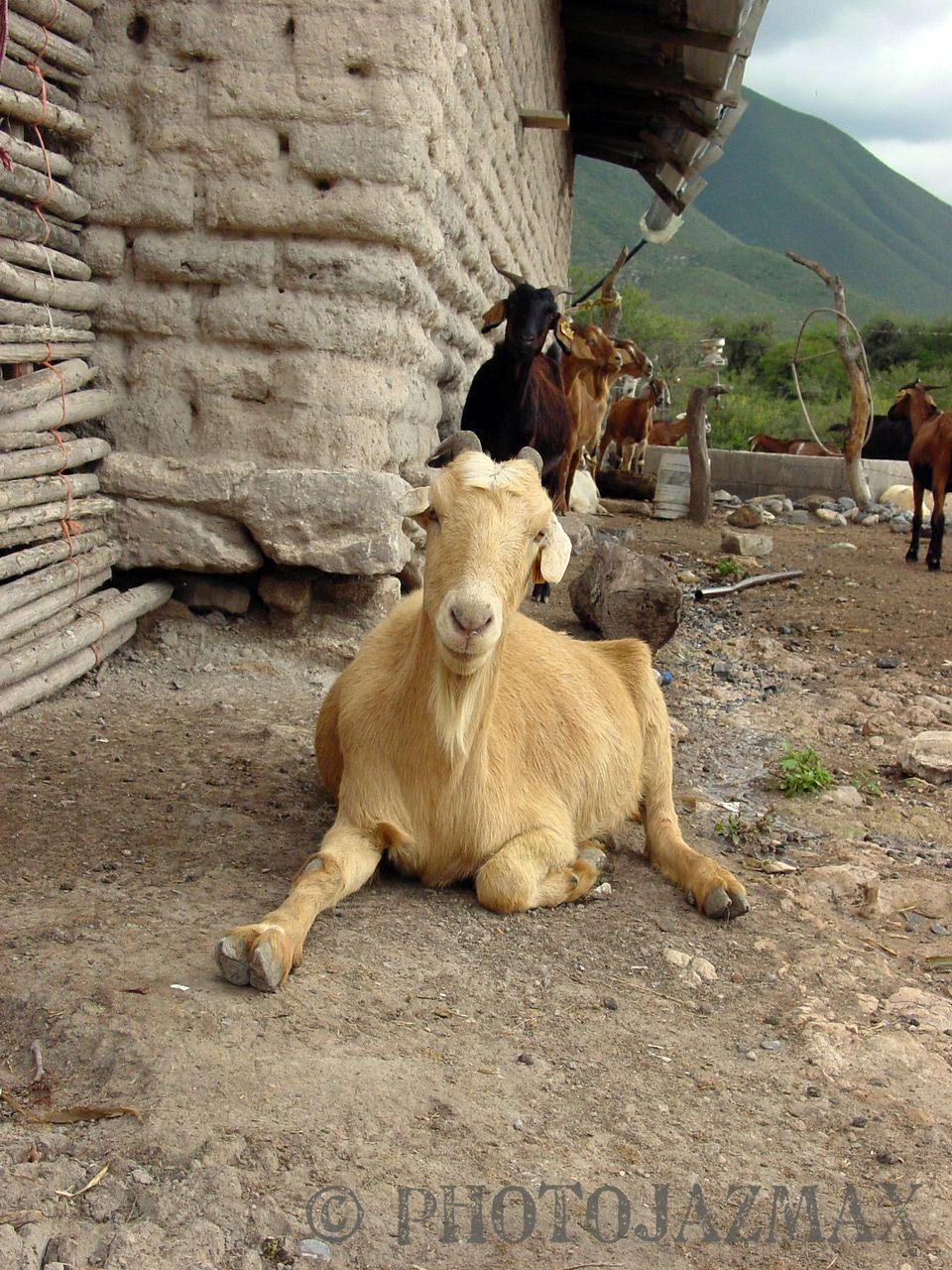 Goat farm tamaulipas mexico cabras