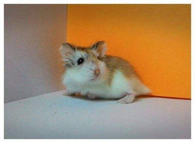 Dogs Cats Rabbits Hamsters And Birds For Adoption Sale Lost And Found All Ages Petfinder My Hamsters For Adoption Hamster Losing A Dog
