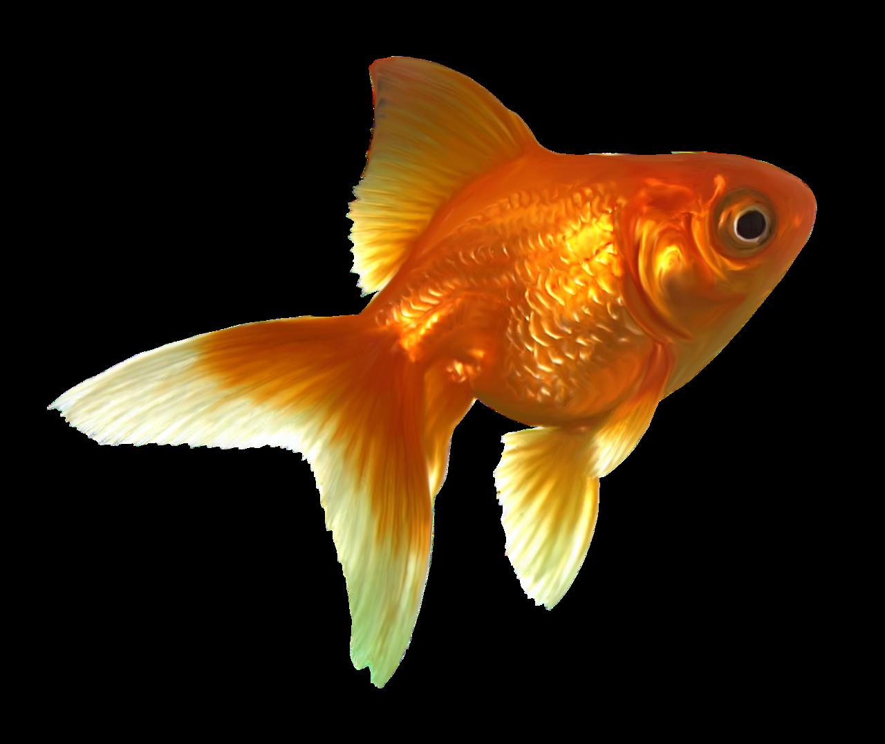 Картинки, картинки золотая рыбка на прозрачном фоне