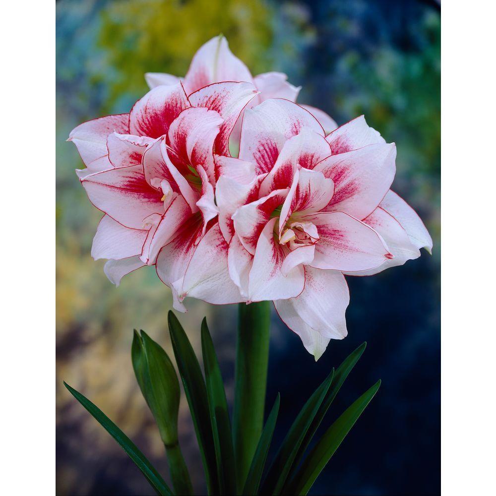 Bloomsz 26 28 Cm Amaryllis Elvas Bulb Flowers Amaryllis Bulbs Amaryllis Flowers
