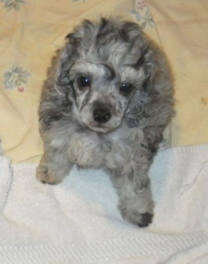 Little Elvis A Silver Merle Poodle Puppy 5 Weeks Of Age