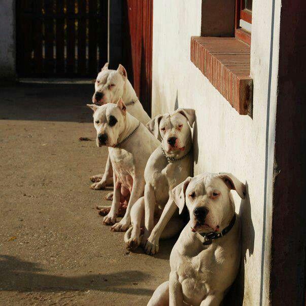 Dogo Argentino Dog Argentino Beautiful Dogs Cute Animals