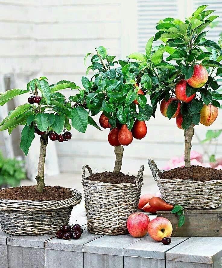 Mini Fruit Trees In Baskets Alberi Da Frutto Nani Alberi Da