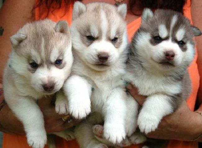 Husky Puppies For Sale In Ohio Cute Puppies Husky Puppies For