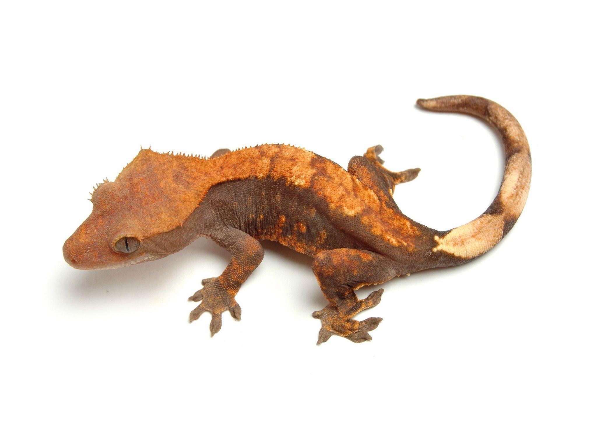 Leopard gecko growth chart best leopard 2017 leopard gecko body structure geckos nvjuhfo Images