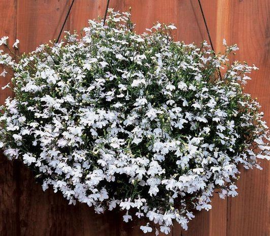 Bibit Lobelia White Fountain Tanaman Benih Bunga