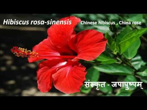 Kill Diabetes Forever In 8 Days क बल आठ द न म मध म ह स हम श क ल ए छ Hibiscus Flower Pictures Hibiscus Flowers