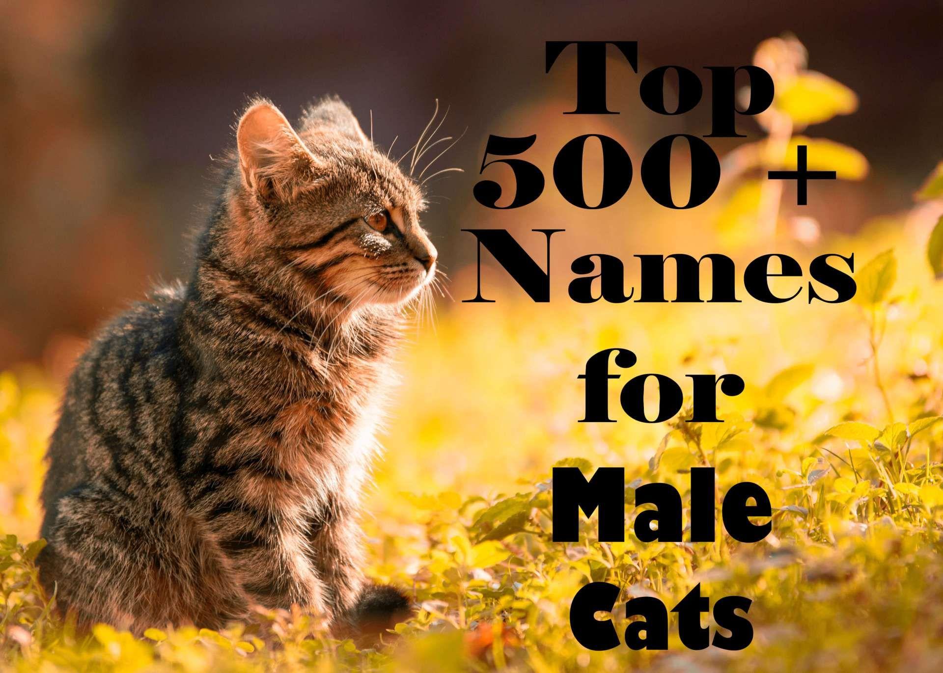 500 Most Popular Names for Male Cats (AZ Boy cat names