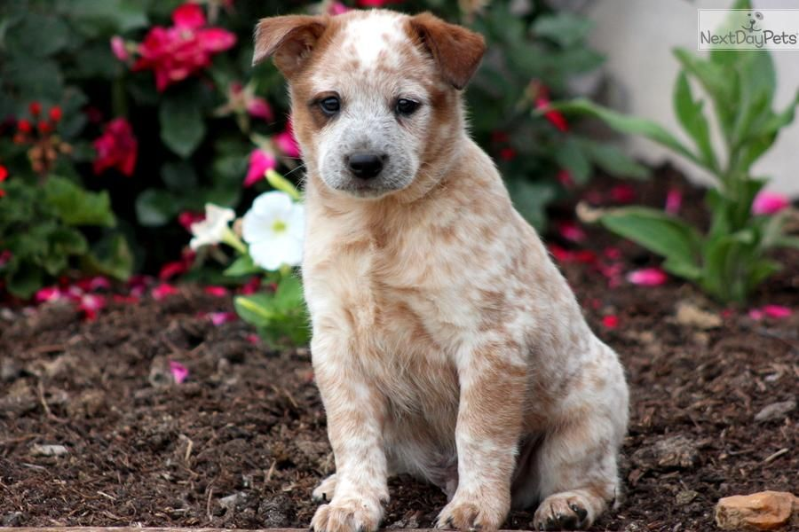 Meet Champ A Cute Australian Cattle Dog Blue Heeler Puppy For Sale For 475 Champ Aust Cattle Do Australian Cattle Dog Blue Heeler Heeler Puppies Cattle Dog